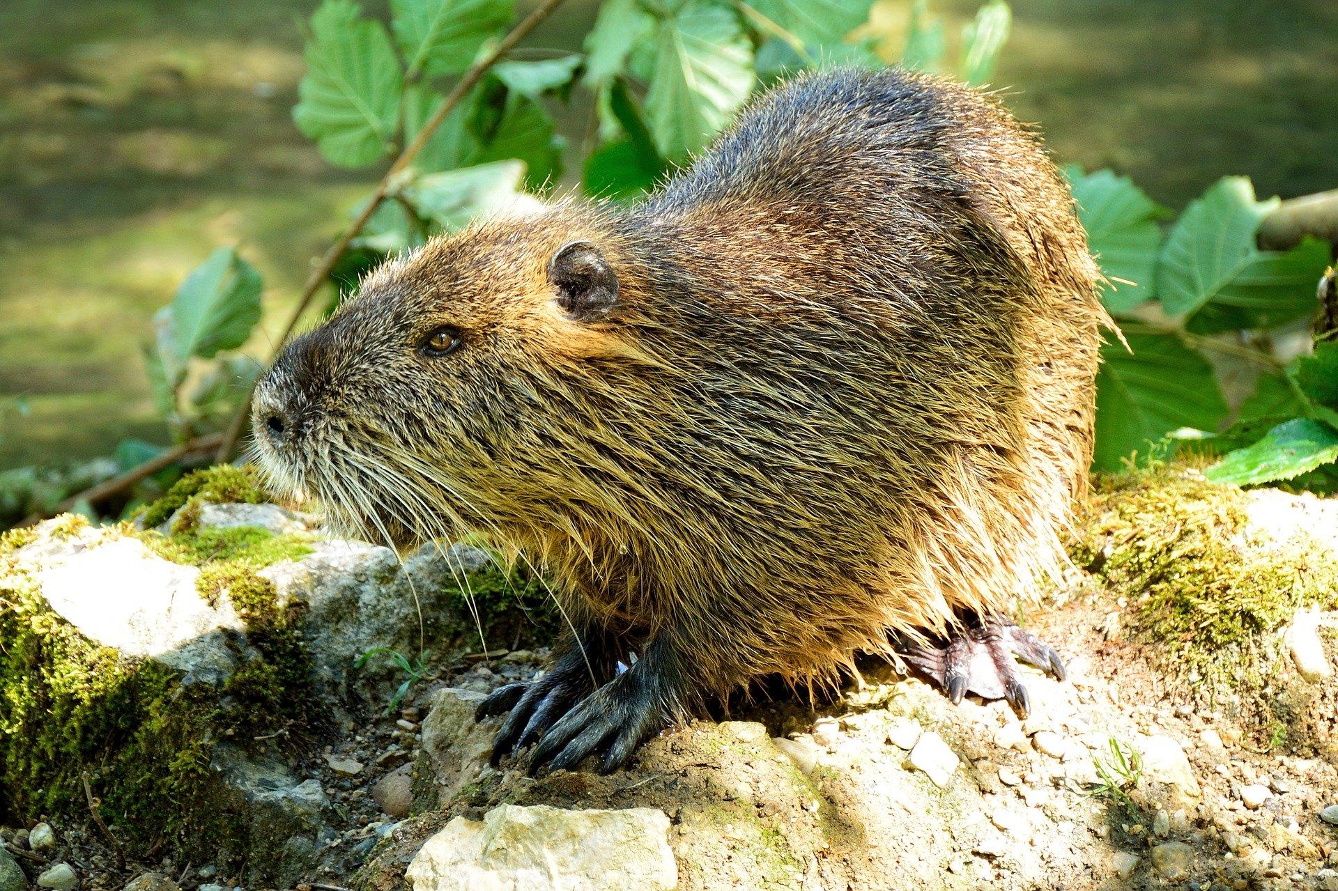 beaver-862600_1920