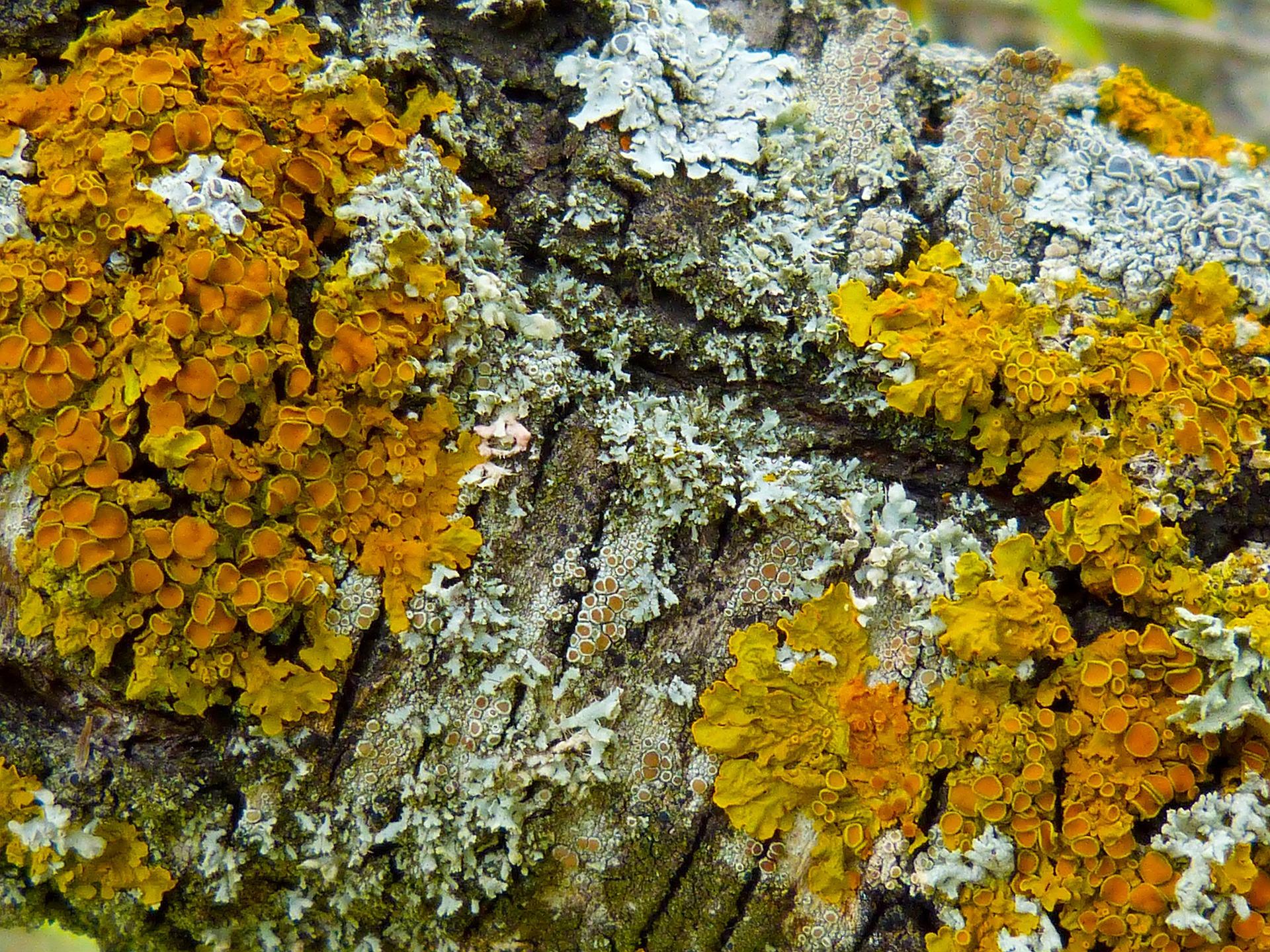 lichens-939854_1920